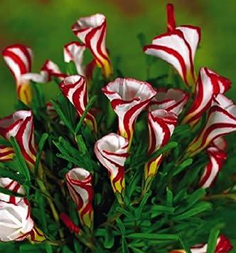 Oxalis Blumen Birnenfarbe Dreh Oxalis Glhbirnen Weltweit Seltene Blumen Fr  Blumen With Fr Garten