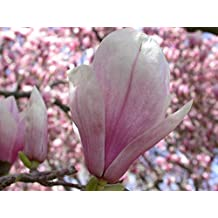 New Saucer Magnolia , Magnolia soulangiana , Tree 10+ Seeds ( Showy , Fragrant , Hardy )