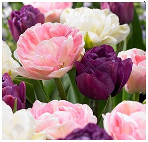10 Double Late Mixture Tulip Bulbs - Tulipa Double Late