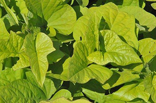 HIGH Germination Seeds:IOEA Sweet Potato E - Margarite - 2 Plants - 4