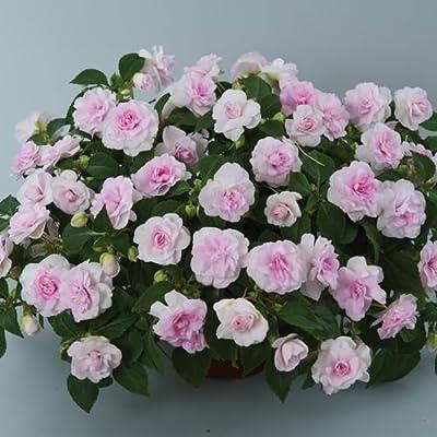 30+ Double Princess Pink Impatien Seeds - My Secret Gardens