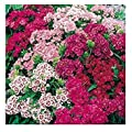 IDEA HIGH Dianthus barbatus 'Dwarf Double' / Sweet William/Seeds