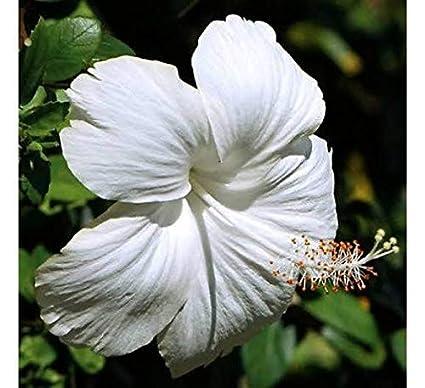 Live Hibiscus Joba Gudhal White Flower Plant 1 Pc Amazonin