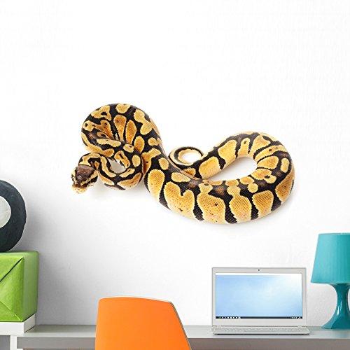 Baby Ball Python - 3
