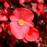 Fibrous Begonia Cocktail Series Plant Seeds (Pelleted): Gin (Rose) - 1000 Seeds - Decorative Flower Plant, Houseplant