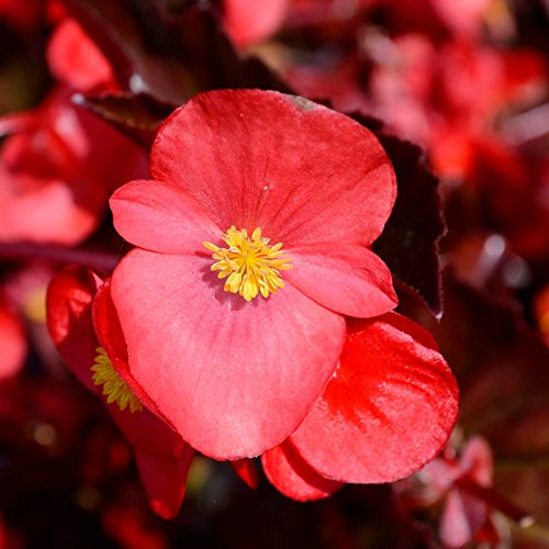 Cocktail Valley (Fibrous Begonia Cocktail Series Plant Seeds (Pelleted): Gin (Rose) - 1000 Seeds - Decorative Flower Plant, Houseplant)