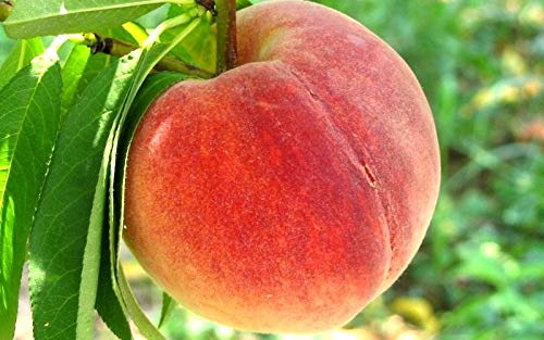 (5 Gallon) Loring Peach Tree- Self Pollinating, Pink and White Fragrant Bloom, Yellow Flesh, Good for Processing, Great for Fresh Eating, Canning and Preserves, Grafted