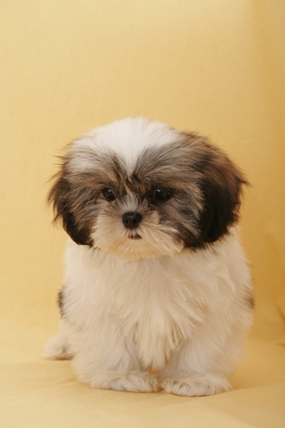 amazon com shih tzu dog live wallpaper appstore for android