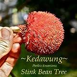 ~PETAI~ Parkia timoriana KEDAWUNG Exotic Food STINK BEAN TREE Live Potted Plant