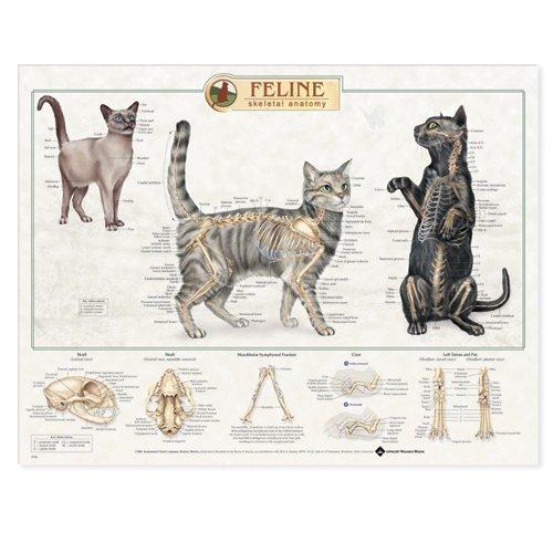 Feline Skeletal System Anatomical Chart (Chart Anatomy Feline)