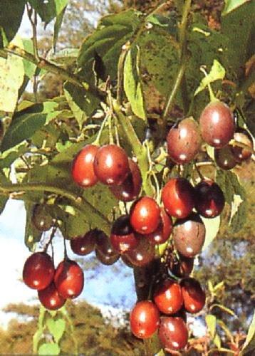 TROPICA - Tamarillo (Cyphomandra betacea) - 100 Seeds - Useful Plants