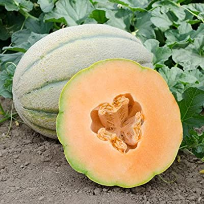 NE Seed El Gordo F1 Hybrid Melon Seeds - Giant Melon with Taste!