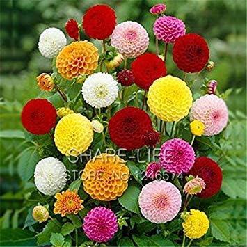 Vistaric Rare Red and White Point Dahlia Seeds Semillas de flores perennes hermosas Dahlia para DIY Home Garden 50PCS / PACK 12