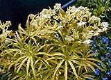 Gold Bouillon Christmas Rose 5 Seeds - Helleborus