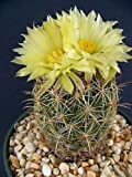 50 Seeds Coryphantha cornifera Exotic Rare Bonsai Pincushion Cactus Seed Cacti
