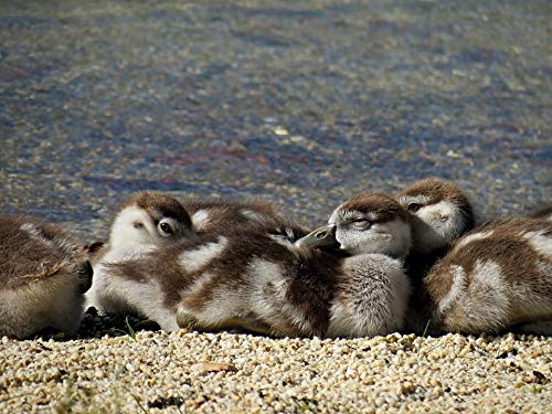 Home Comforts Canvas Print Bird Chicks Egyptian Goose Chick Geese Nilg?±NSE Vivid Imagery Stretched Canvas 32 x 24 -