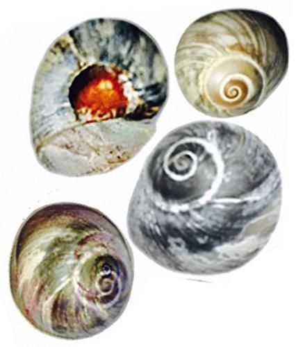 Beautiful Bubble (50 Beautiful Bubble Moon Shells - Seashell Beads with Holes for Beach Crafts, Nautical Decor, and Seashell Garland)