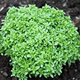 NIKITOVKASeeds - Basil Pryanyy Globus - 400 Seeds - Organically Grown - Non GMO