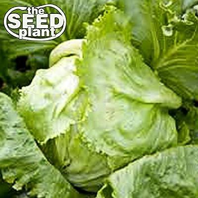 Iceberg Lettuce Seeds - 1000 SEEDS NON-GMO : Garden & Outdoor