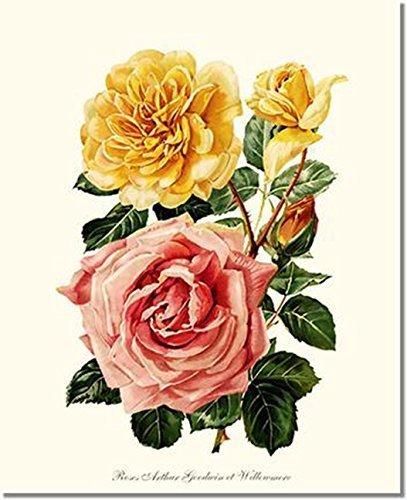 Amazon Com Pink Yellow Rose Print Vintage Botanical Art Arthur