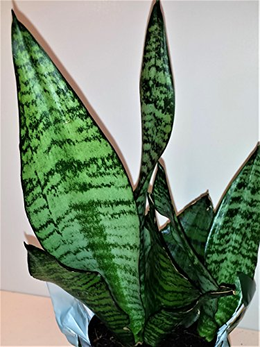Hirt's Superba Robusta Snake Plant - Sanseveria - Impossible to kill! - 4