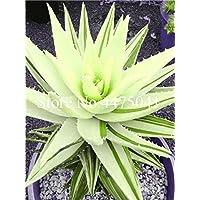 Ponak Las nuevas 20 PC suculentas Aloe Vera semillas de plantas para jardinería hermosa de color verde pálido