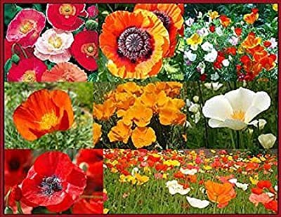 Mixed Poppies Seeds - Red Flanders Poppies, Symbolic of WWI, Plus Shirley Poppies, and Gold, Orange, White, and Red California Poppy Seeds - Non GMO and Neonicotinoid
