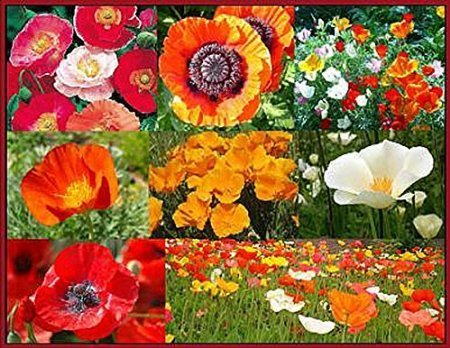 California Poppy Seed Paper (Mixed Poppies Seeds - Red Flanders Poppies, Symbolic of WWI, Plus Shirley Poppies, and Gold, Orange, White, and Red California Poppy Seeds - Non GMO and Neonicotinoid)