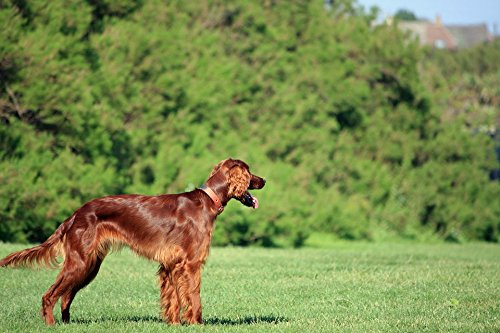 (Home Comforts Framed Art for Your Wall Pet Setter Red Setter Canine Irish Setter Dog 10x13 Frame)