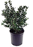 Ilex X meserveae 'Blue Prince' (Blue Holly) Evergreen, #2 - Size Container