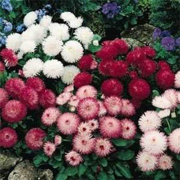 Outsidepride English Daisy Bellis Perennis Flower Seed Mix - 5000 Seeds -