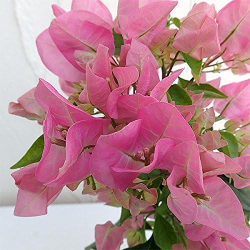 ガーデンブーゲンビレア:ライトピンク色3.5号ト 2株セット[こんもり次々に咲く情熱の花!]