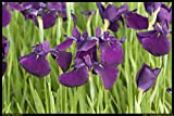 Van Zyverden Pond Marginal Iris Ensata Royal Banner, Purple