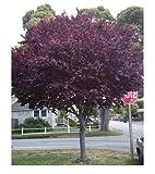 Cherry Plum seeds Prunus Cerasifera - Ornamental Tree Seeds (5)