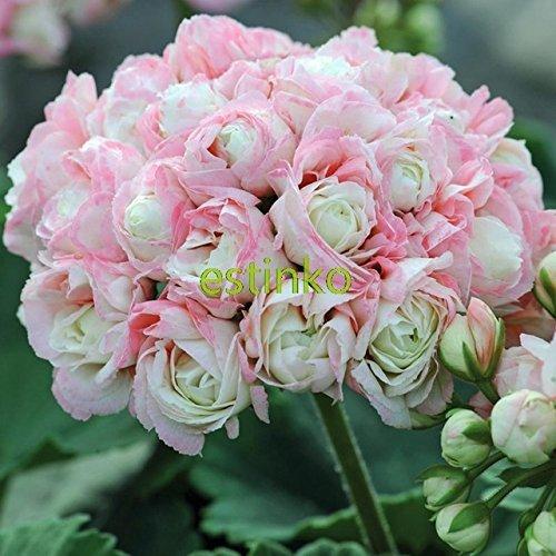 Best Selling! 10pcs Rare Geranium Seeds Appleblossom Rosebud Pelargonium Perennial Flower Seeds Hardy Plant Bonsai Potted Plant (Potted Roses)