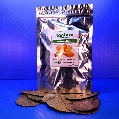 "50pcs 4""~7"" Tantora Catappa Leaves Grd A Indian Almond Leaf KETAPANG shrimp fish"