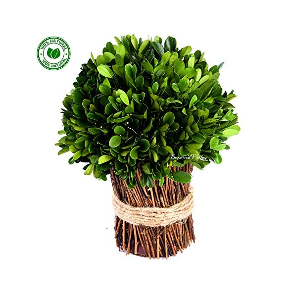 Preserved Boxwood Ball New Mushroom Shape Design Use as Bouquet or Boxwood Ball in Delicate Containers DIY or Decorative Purposes (Half Ball Bundle, 10 inch)