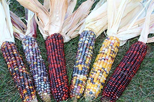 6 Whole Ears of Colorful Indian Corn with Husks Attached - Beautiful Decorative Non-GMO Indian Corn