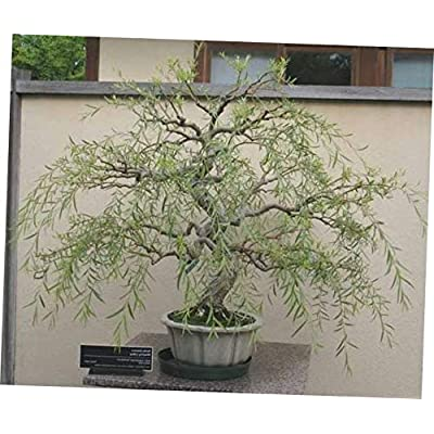 KLY 1 Thick Trunk Cutting Bonsai Dragon Willow Tree - LY510: Garden & Outdoor