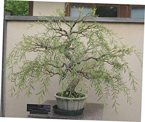 KLY 1 Thick Trunk Cutting Bonsai Dragon Willow Tree - LY510 by KLY