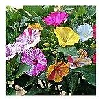 David's Garden Seeds Flower Four O'Clock Bicolor Mix (Multi) 50 Open Pollinated Seeds
