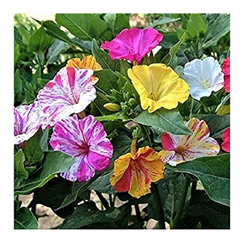 4 Oclock Flowers - David's Garden Seeds Flower Four O'Clock Bicolor Mix SL1133 (Multi) 50 Open Pollinated Seeds