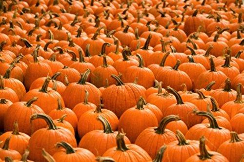 20 Organic Small Sugar Pumpkin Seeds ~ New England Pie ~ Sweet Little Squash (Sugar Pumpkin Pie)