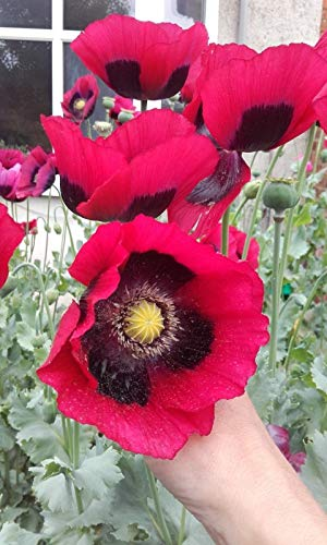 1000+ Giant Turkish Poppy Flower Seeds gigantimum UK Grower