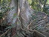 Ceiba pentandra - Kapok/Silk Cotton Tree - Rare Tropical Plant Tree Seeds (20)