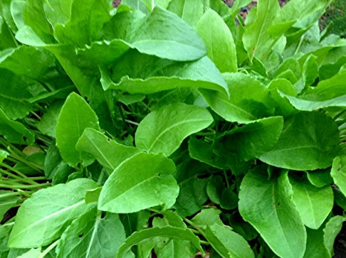 400+ French Sorrel Seeds- Heirloom Lettuce Herb- by Ohio Heirloom ()