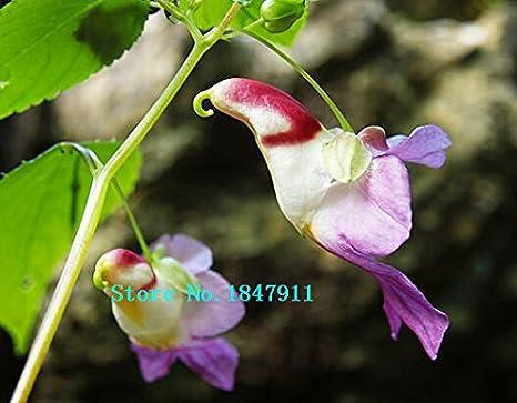 Grande vente beau visage de singe orchidées graines, variétés ...