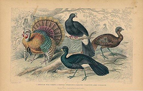 - Wild Turkey Curassow varieties c. 1850s nice old hand colored Bird print