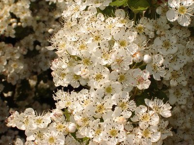 10 Hawthorn Hedging Plants 40-60cm,Wildlife Friendly 1-2ft Hawthorne Bare Root Hedge Plants, quickthorn, Whitethorn - All Our Plants are Grade A, Fully Certified and passorted Farm and Garden