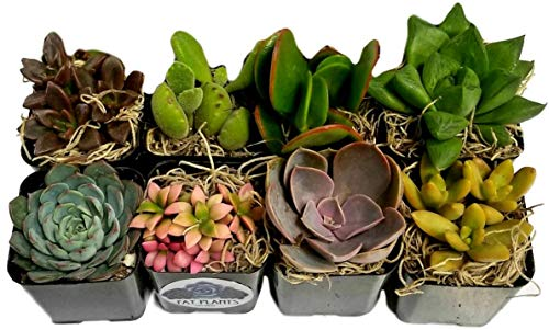 Planters with Soil - Living Succulents in 2 Inch Plastic Pots Variety Packages for Cactus and Succulent Decor, Gifts, Showers and Wedding Decorations by Fat Plants San Diego ()